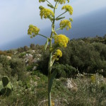 108 Giant Fennel