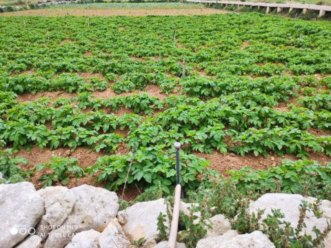 current potato plants at Dingli