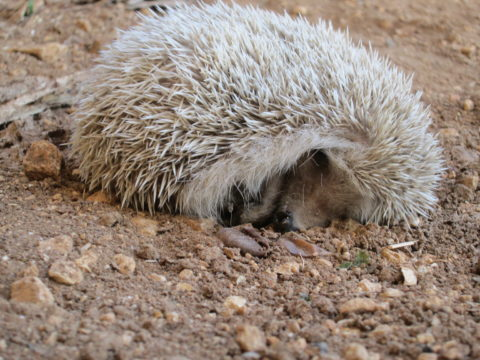 m. Vagrant hedgehog