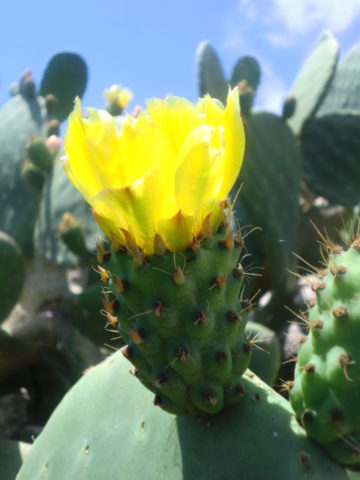 u. Prickly Pear May-Jul